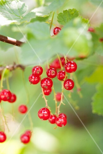Redcurrants on a bush