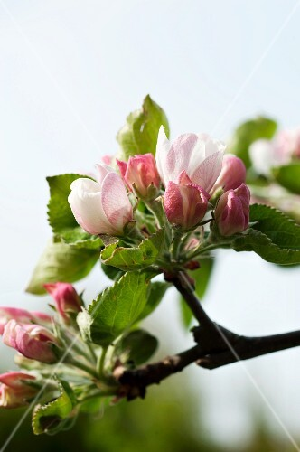 Apple blossom on the branch (close-up)
