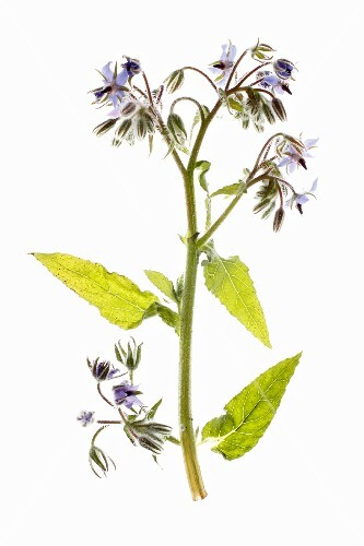 A sprig of borage with flowers