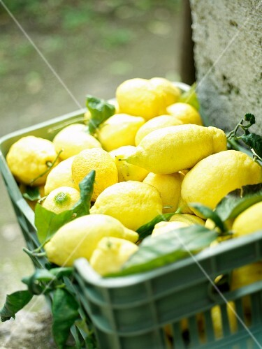 Freshly harvested lemons