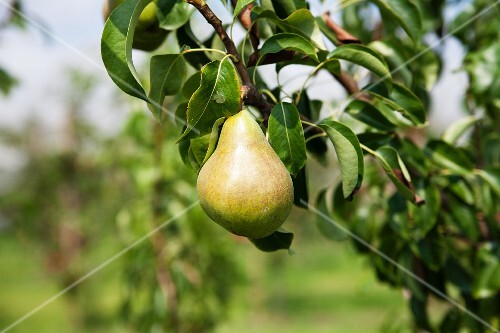 A pear on a tree