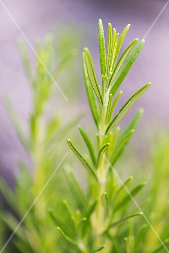 Rosemary (Rosmarinus officinalis) growing in garden