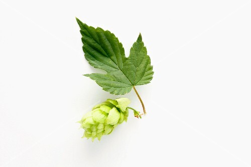 A hops flower with leaf