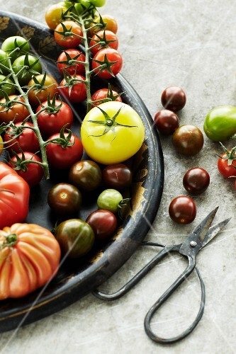 Assorted types of tomatoes on a tray, scissors to one side