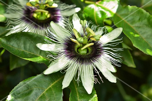 Passion flowers on the plant