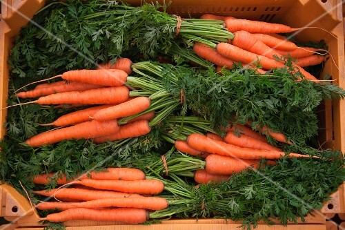 Several bunches of carrots in a crate