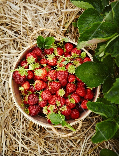 Basket of Fresh Picked Strawberries in a Strawberry Patch