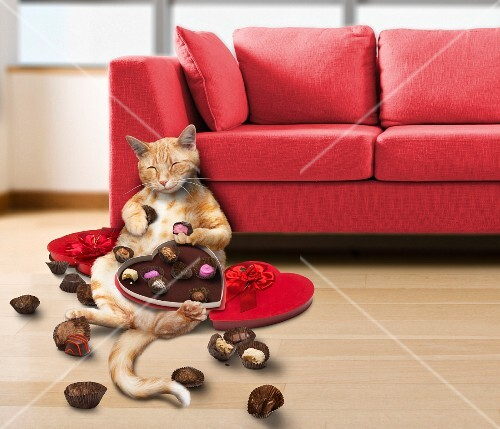 Cat eating valentines Day chocolates
