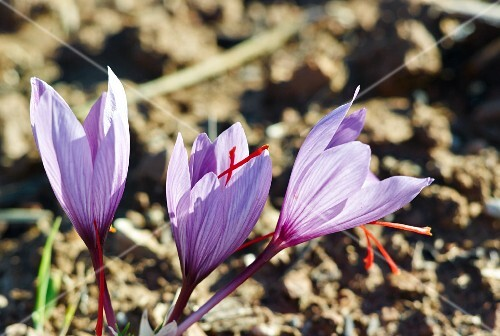 Saffron flowers growing in the ground