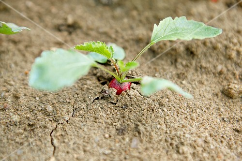 A radish growing in the earth