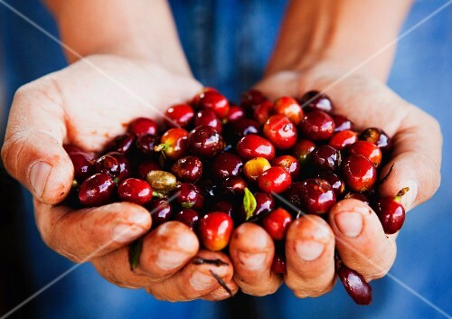 A person holding a handful of coffee cherries