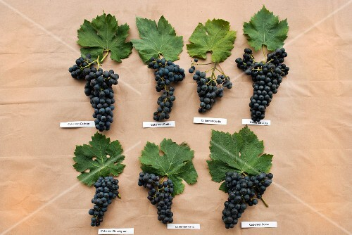 Various types of Cabernet grapes