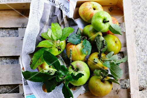Freshly picked apples with leaves in a wooden crate