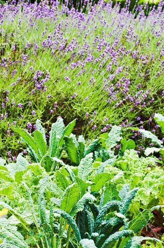 Vegetable plants and flowering lavender in a garden