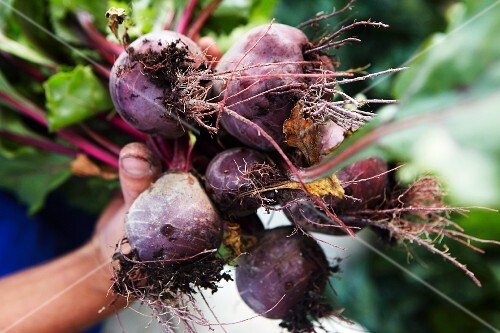 Hands holding a bunch of freshly harvested beetroot