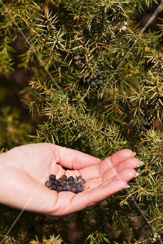 Juniper berries and juniper berry bush