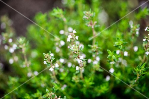 Flowering oregano in a garden (close)
