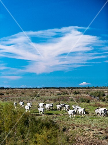 A heard of Maremma cattle in the Maremma Natural Park Alberese