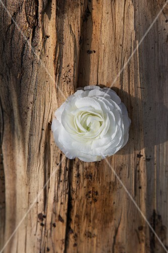 A white buttercup on a piece of bark