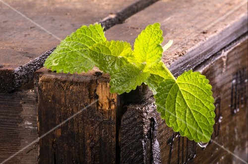 Fresh lemon balm on a wooden crate