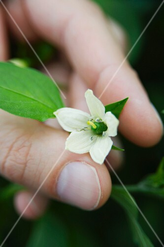 A hand showing a flower on a chilli plant