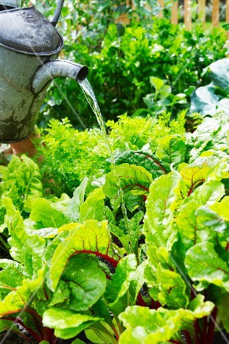 Vegetables in a garden being watered