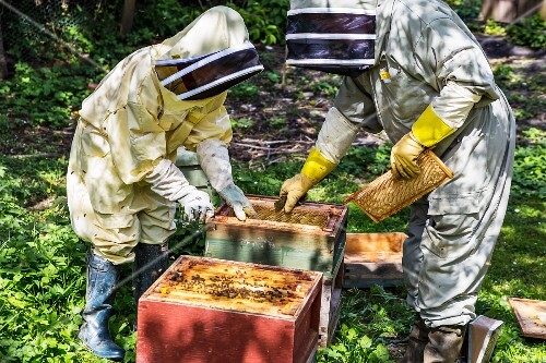 Beekeepers checking bee hives