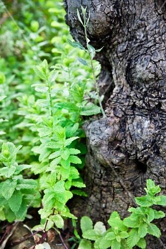 Wild mint growing on a tree stump