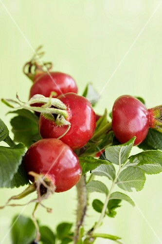 A sprig of rosehips from the Japanese rose (rosa rugosa)