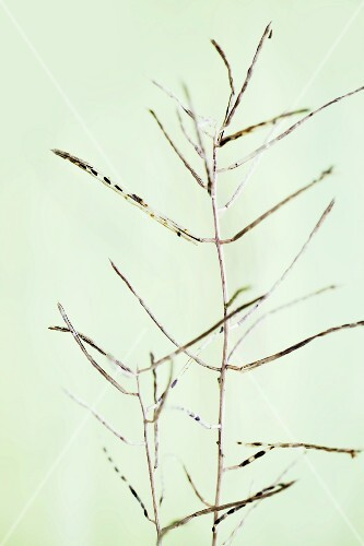 A sprig of garlic mustard seedpods