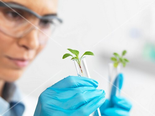 A scientist holding young plants in test tubes