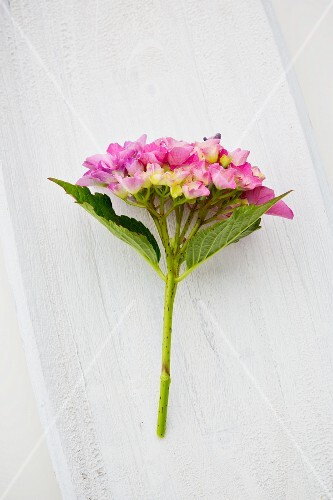 A pink hydrangea on a white wooden surface