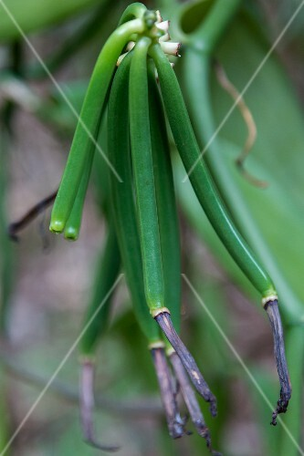 Green vanilla pods on the plant