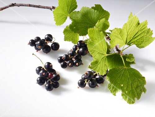 Blackcurrants with a twig