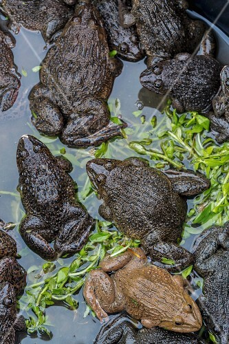 Edible frogs at a market (Vientiane, Laos)