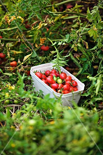 Tomatoes being harvested in the garden