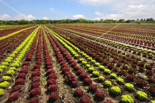 A field of lettuce (Austria)