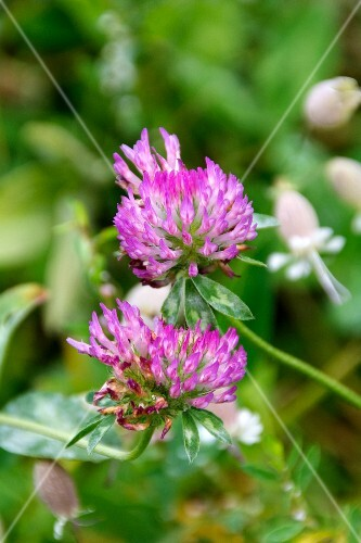 Purple clover leaves against a green background
