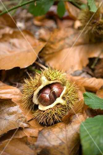 An edible chestnut on the forest floor