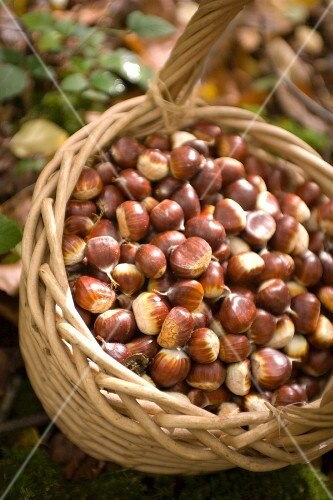 A basket of edible chestnuts in a forest
