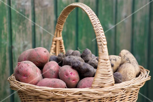 Red Rosara potatoes, yellow Solist potatoes and truffle potatoes in a harvesting basket in a garden