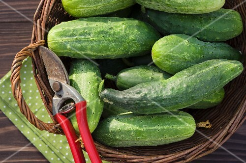 Harvested cucumbers in a garden