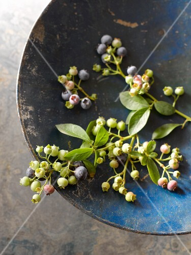 A sprig of ripe and unripe blueberries