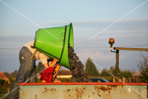 Red wine grapes being tipped into a container after harvesting