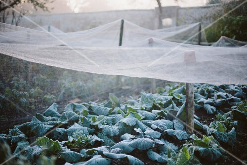 Nets covering plants in walled kitchen garden on misty morning