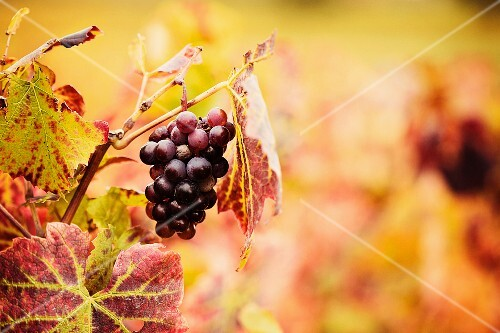 Red wine grapes on the vines in autumn (France)