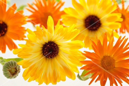 Calendula flowers and buds