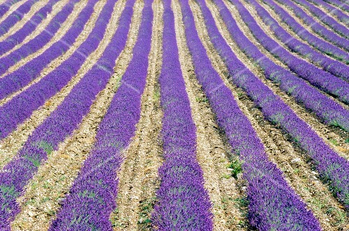 Lavender field; Sault, Vaucluse, Provence, France