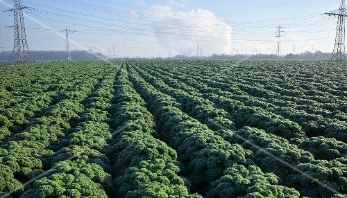 A large field of kale