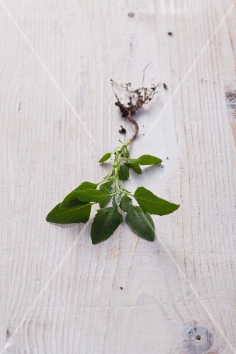 White goosefoot – a 'weed' full of vital substances
